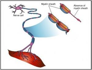 immune-cell-malaria